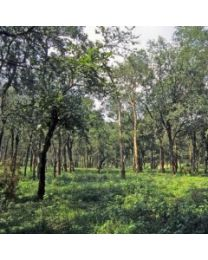Living Libations Sandalwood Essential Oil 5ml